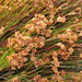 Restionaceae - Photo (c) psilotum Lin,  זכויות יוצרים חלקיות (CC BY-NC-SA)