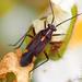 Capsodes flavomarginatus - Photo (c) Valter Jacinto,  זכויות יוצרים חלקיות (CC BY-NC-SA)