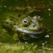 צפרדע - Photo (c) Ina Siebert,  זכויות יוצרים חלקיות (CC BY-NC)