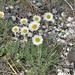 Erigeron compositus - Photo (c) redrocksrock,  זכויות יוצרים חלקיות (CC BY-NC)