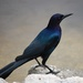 Boat-tailed Grackle - Photo (c) unnormalized, some rights reserved (CC BY-SA)