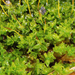 Pottiaceae - Photo (c) bryophyte_cnps, some rights reserved (CC BY-NC)