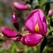 Pickeringia montana montana - Photo (c) Stacie Wolny, algunos derechos reservados (CC BY-NC-SA)