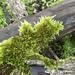 Sematophyllum homomallum - Photo (c) triciastewart, μερικά δικαιώματα διατηρούνται (CC BY-NC)