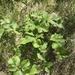 Aegopodium latifolium - Photo (c) Alla Verkhozina, algunos derechos reservados (CC BY-NC)