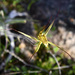 Cape Spider Orchid - Photo (c) chrisclarke25, some rights reserved (CC BY-NC)