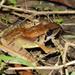 Sumatran Torrent Frog - Photo (c) Matt Muir, some rights reserved (CC BY-SA)