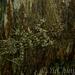 Saltuarius wyberba - Photo (c) Yu Ching Tam, algunos derechos reservados (CC BY-NC-ND)