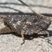 Nomotettix cristatus - Photo (c) Denis Doucet, algunos derechos reservados (CC BY-NC)