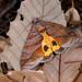 Eudocima homaena - Photo (c) Shipher (士緯) Wu (吳),  זכויות יוצרים חלקיות (CC BY-NC-SA)