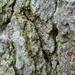 Bacidia rubella - Photo (c) Samuel Brinker, algunos derechos reservados (CC BY-NC)