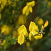 Scots Broom - Photo (c) Eric Verna, some rights reserved (CC BY-SA)