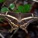 Papilio ponceana - Photo (c) Frank Model, algunos derechos reservados (CC BY-NC)
