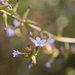 Plumbago caerulea - Photo (c) Santiago, some rights reserved (CC BY-NC)