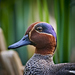 Mallards, Pintails, and Allies - Photo (c) Vasilii Medvedev, some rights reserved (CC BY-NC)