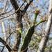 Tasajillo Alado de Chiapas - Photo (c) Neptalí Ramírez Marcial, algunos derechos reservados (CC BY-NC)