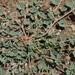 Seetzenia orientalis - Photo (c) John Pereira, algunos derechos reservados (CC BY-NC)