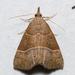 Hypena deceptalis - Photo (c) Stott Noble, algunos derechos reservados (CC BY-NC)