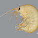 Gammaridae - Photo (c) Andrew Cannizzaro, some rights reserved (CC BY)