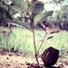 Eucalyptus chartaboma - Photo (c) Arthur Chapman,  זכויות יוצרים חלקיות (CC BY-NC-SA)