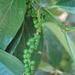 Pimienta Negra - Photo (c) tian yake, algunos derechos reservados (CC BY-NC-ND)
