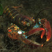 American Lobster - Photo (c) Roger Rittmaster, some rights reserved (CC BY-NC)