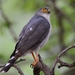 Little Sparrowhawk - Photo (c) Ian White, some rights reserved (CC BY-NC-SA)