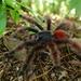 Caribena versicolor - Photo (c) gug972, algunos derechos reservados (CC BY-NC)