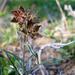 Fritillaria pinetorum - Photo (c) paulexcoff, algunos derechos reservados (CC BY-SA)