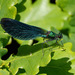 Calopteryx virgo - Photo (c) Paul Roberts,  זכויות יוצרים חלקיות (CC BY-NC)
