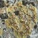 Gyalolechia flavovirescens - Photo (c) Samuel Brinker, algunos derechos reservados (CC BY-NC)