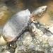 Sternotherus carinatus - Photo (c) Jason, algunos derechos reservados (CC BY-NC)