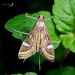 China-mark Moths - Photo (c) Shipher (士緯) Wu (吳), some rights reserved (CC BY-NC-SA)