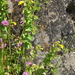 Shy Monkeyflower - Photo (c) Andrew Simon, some rights reserved (CC BY-NC)