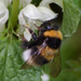 Garden Bumble Bee - Photo (c) Ina Siebert, some rights reserved (CC BY-NC)