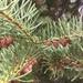 Abeto del Noroeste - Photo (c) Chris Cameron, algunos derechos reservados (CC BY-NC)
