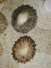 Image of Patella ferruginea