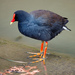 Moorhens - Photo (c) Brett Donald, some rights reserved (CC BY-NC)
