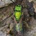 Augochlora pura - Photo (c) Ryan Hodnett, algunos derechos reservados (CC BY-SA)
