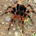 Megaphobema mesomelas - Photo (c) Steven Easley, algunos derechos reservados (CC BY-NC)
