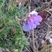 Vicia multicaulis - Photo (c) B.Byambajav,  זכויות יוצרים חלקיות (CC BY-NC)