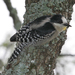 White-fronted Woodpecker - Photo (c) Lip Kee Yap, some rights reserved (CC BY-SA)