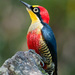 Yellow-fronted Woodpecker - Photo (c) Cláudio Dias Timm, some rights reserved (CC BY-NC-SA)
