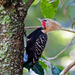 Blond-crested Woodpecker - Photo (c) Dario Sanches, some rights reserved (CC BY-SA)