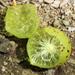 Amphibolips quercusinanis - Photo (c) Trix Niernberger, alguns direitos reservados (CC BY-NC)