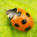 Lady Beetles - Photo (c) Ryosuke Kuwahara, some rights reserved (CC BY-NC)