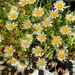 Erigeron morrisonensis morrisonensis - Photo (c) 葉子, some rights reserved (CC BY-NC-ND)