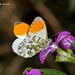 Orange-Tip - Photo (c) Marcello Consolo, some rights reserved (CC BY-NC-SA)