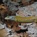 Lagarto Escorpión de Shasta - Photo (c) Emma Scott, algunos derechos reservados (CC BY-NC)