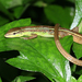 Oriental Long-tailed Grass Lizard - Photo (c) Circle Fong, some rights reserved (CC BY-NC)